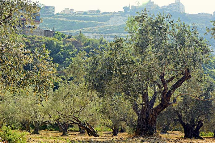 Olivos para tablas